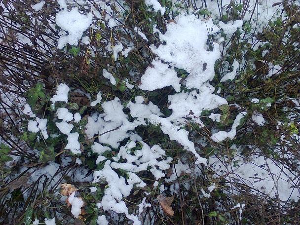 Ještě v lednu lze sklízet pod sněhem namrzlé lístečky máty na zimní mátový čaj.